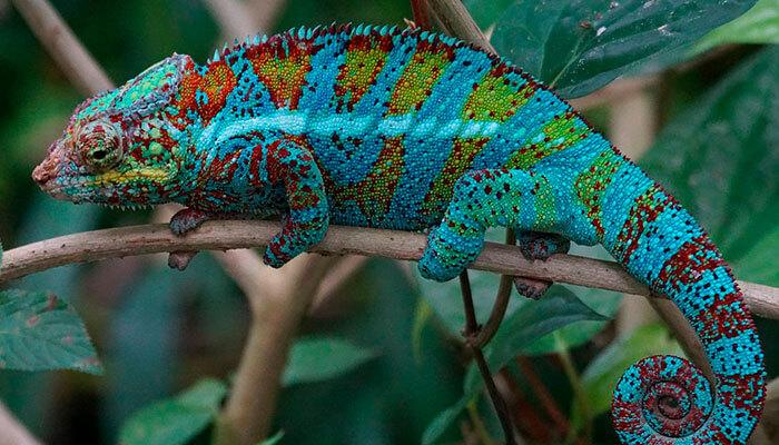 reptiles-en-ingles-camaleon