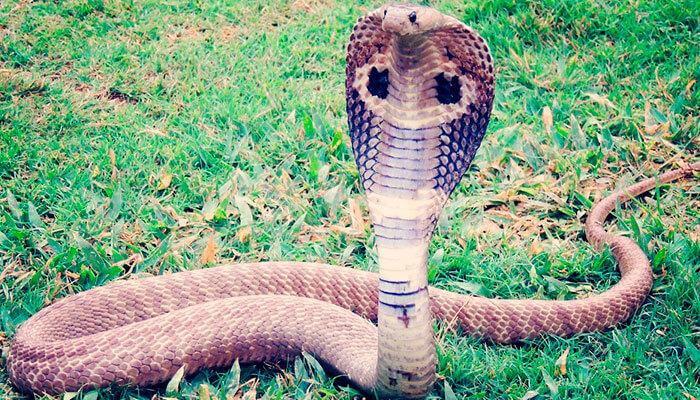 reptiles-en-ingles-cobra