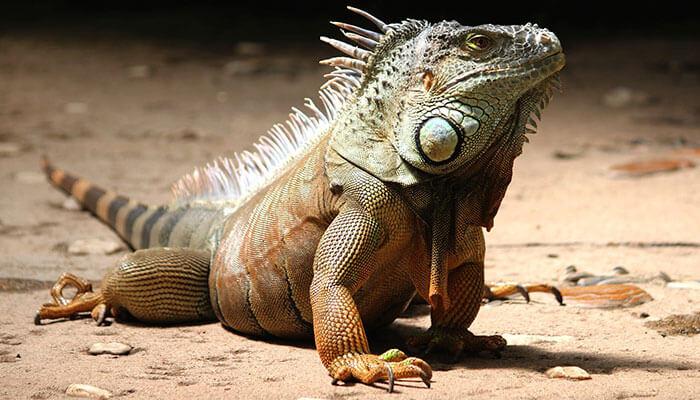 reptiles-en-ingles-iguana