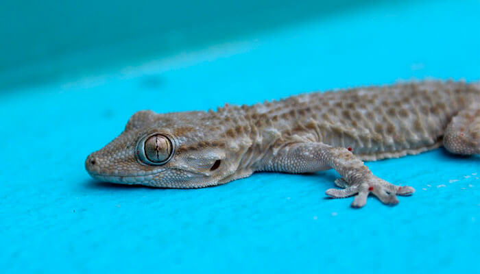 reptiles-en-ingles-lagartija
