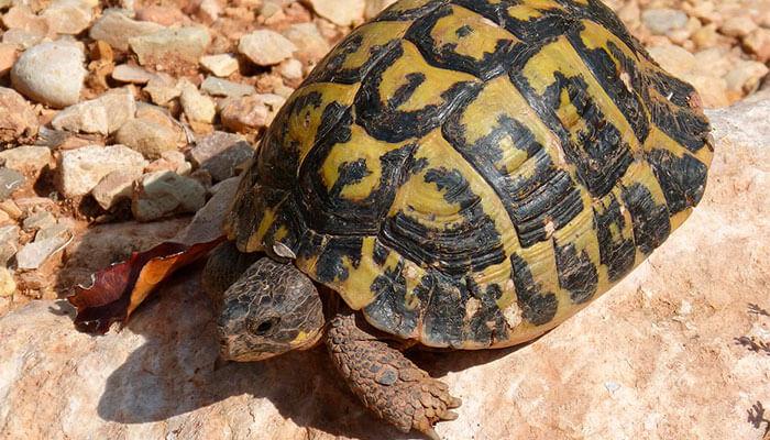 reptiles-en-ingles-tortuga-de-tierra